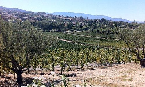 cougar vineyard
