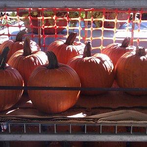 Pumpkins-fall is here.