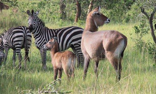 Wildlife im Lake Mburo NP