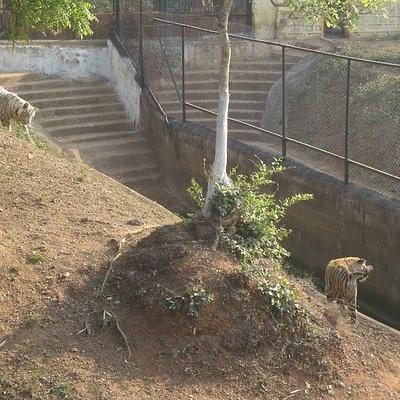 Nandankanan Zoo Park, the white tiger family