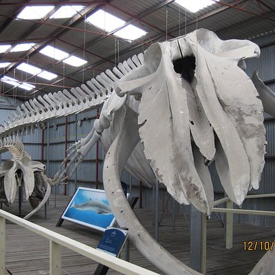 actual whale skeletons