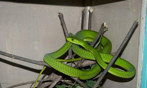 mamba verde