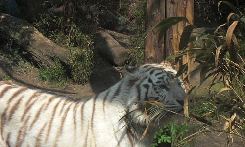 A white tiger walking around in its enclose