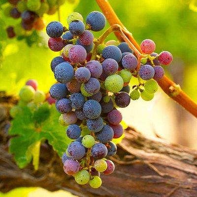 Monticello Wine Trail Grapes!