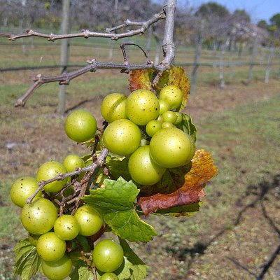 Late bloomer grapes (Nov.)