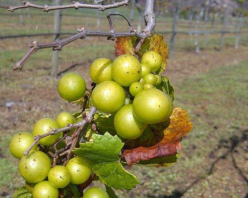 Late bloomer grapes (Nov.)