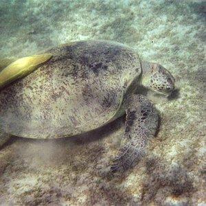 tartarughe di Marsa Mubarak