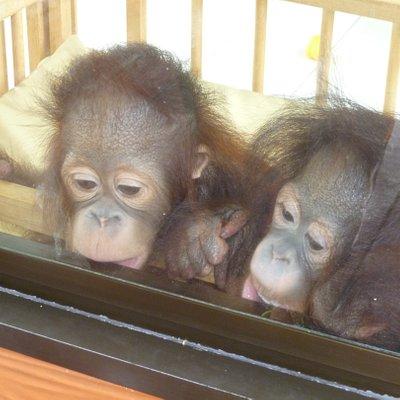 The baby orang utans