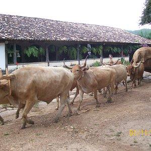frente da fazenda  com carro de Boi