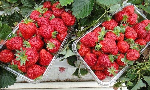 Strawberries we picked!