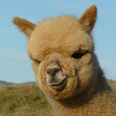 Meet Fascination at Shamarra Alpacas, Akaroa, New Zealand