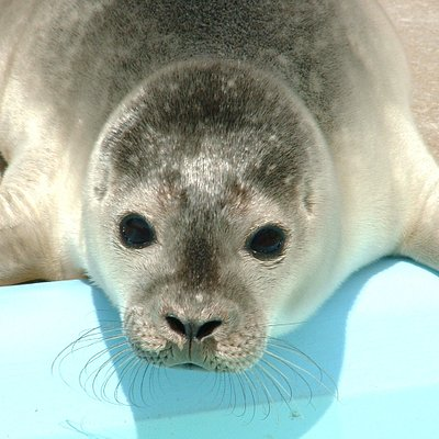 Brad the rescued seal pup