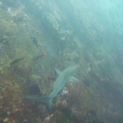 Galapagos shark at San Cristobal!