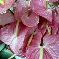 Anthurium Farmers Market