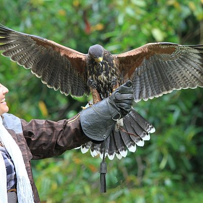 Your chance to fly hawks in a private one hour Hawk Walk in the beautiful grounds of Ashford Cas