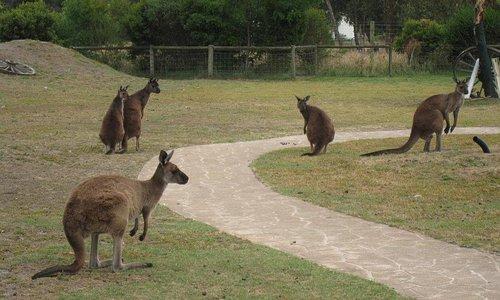 Kangaroos roaming around
