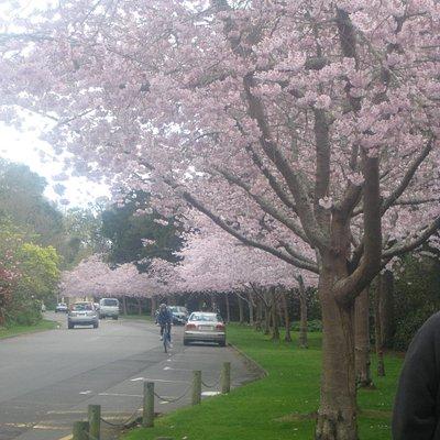 Cherry blossom drive