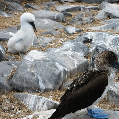 Adult male Blue Footed Booby with chick