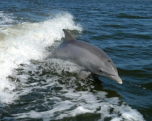 Watch dolphins jumping the wake