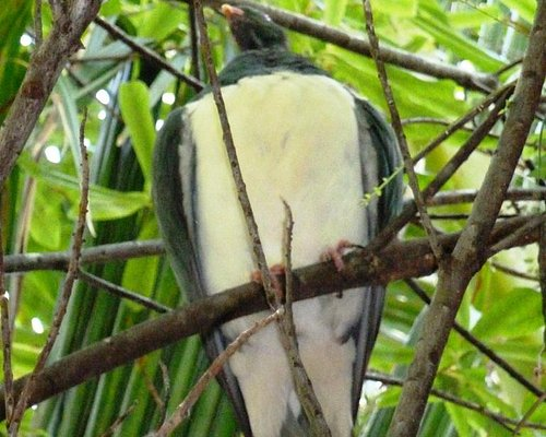wood pigeon in the forest walk