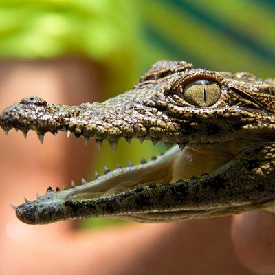 A very small Nile Crocodile but with very sharp teeth!