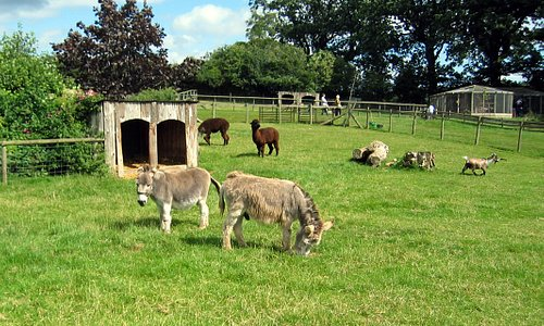 Miniature donkeys and goats in the main display field