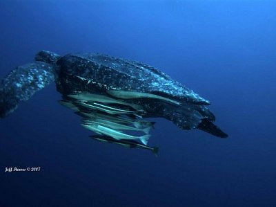 Largest nesting grounds for Leatherback Sea Turtles in the US