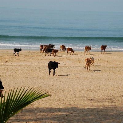 Cows on the beach, a familiar scene in India