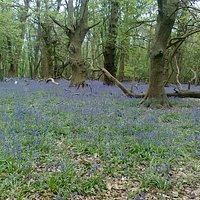 Bluebells, Ashridge Estate