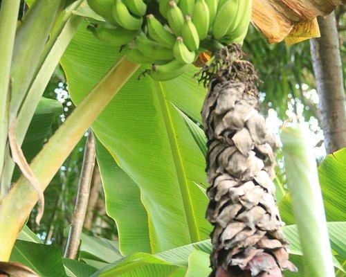Bananas growing at Hana Fresh Farm