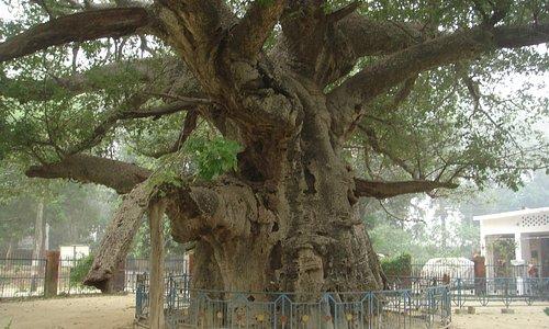 the  trunk  below  looking  like  elephants  trunk