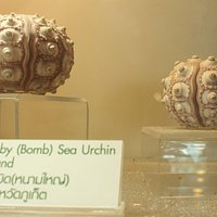 Knobby (Bomb) Sea Urchin from Phuket