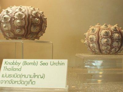 Knobby (Bomb) Sea Urchin from Phuket