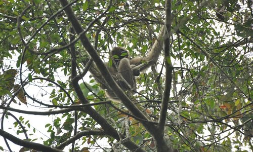 Female gibbon with baby