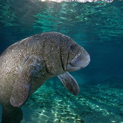 Baby Manatee in Three Sisters Springs