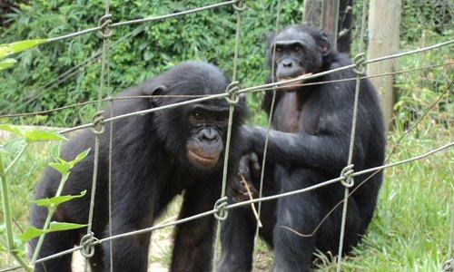 Nos amis les bonobos