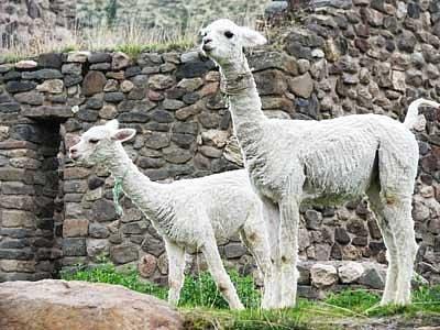 llamas grace the site