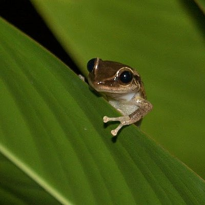 This is what you hear at night. Coqui!!!