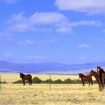 The band of wild mustangs