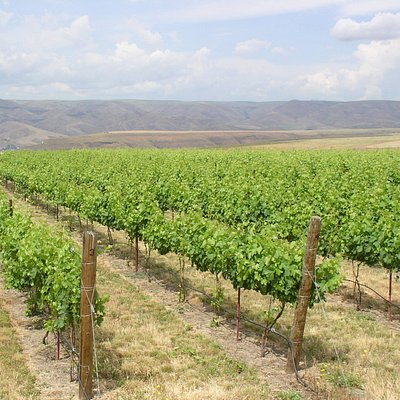 Estate Vineyard - Summer 2009