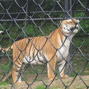 ROYAL BENGAL TIGER...
