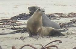 Courting Sea Lions Cannibal Bay catlins
