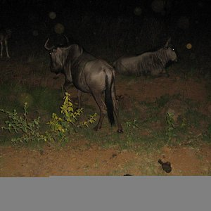 Gnu and impala abound