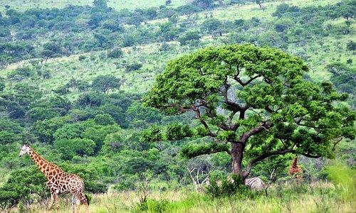 panorama con giraffe