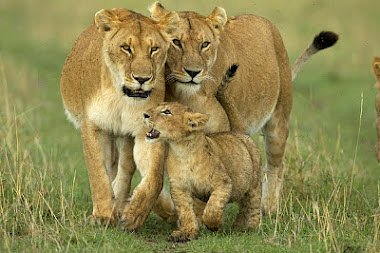 Lioness enjoy and play at Masai Mara National Park during great lovely weather.