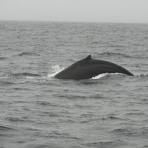 Humpback Whale breeching on a SF Bay Whale Watching tour