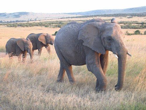 Elephant at Masai Mara