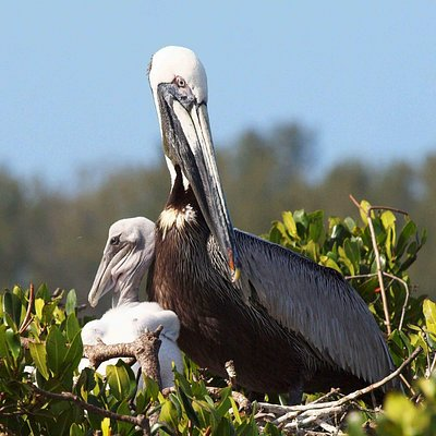 Mother and baby pelican