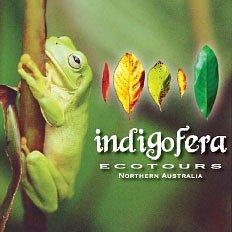 Green Tree Frog - Indigofera Ecotours