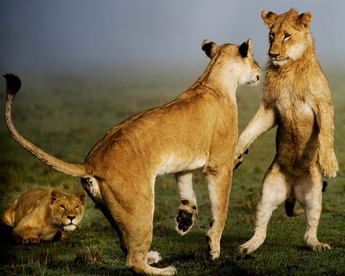 Play time - Young lions